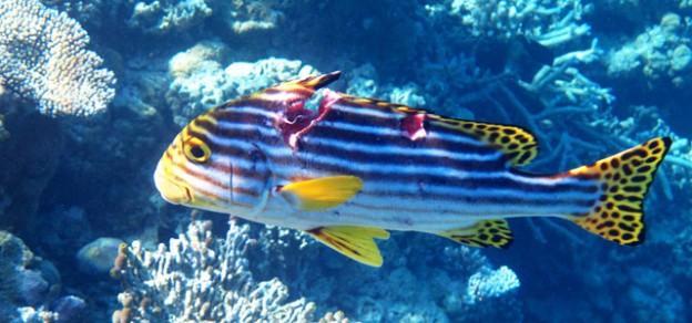 Bunter Fisch am Korallenriff