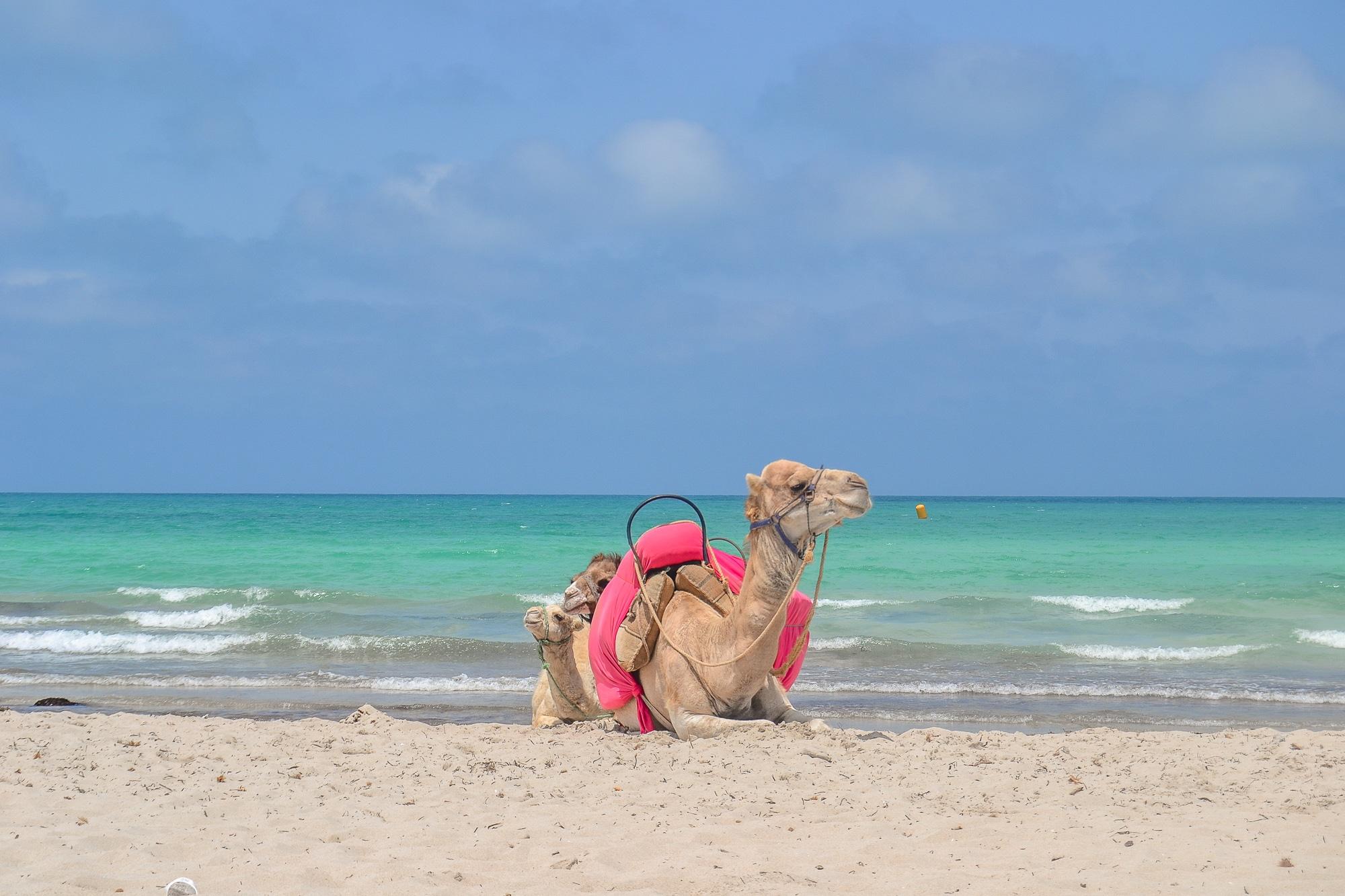 Kamel am Strand von Djerba