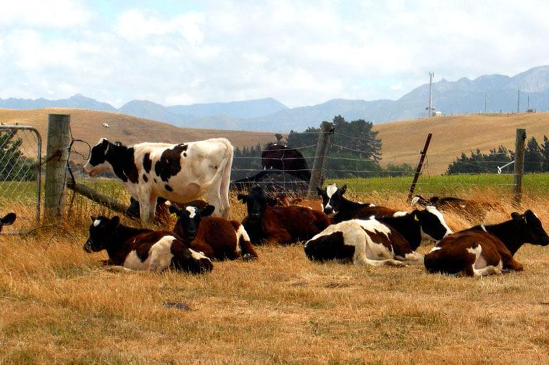 Kühe in Neuseeland