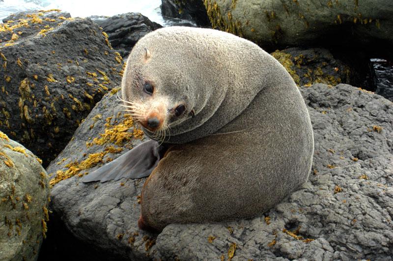Seehund am Cape Palliser in Neuseeland