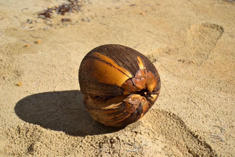 Kokosnuss im Sand Dominikanische Republik