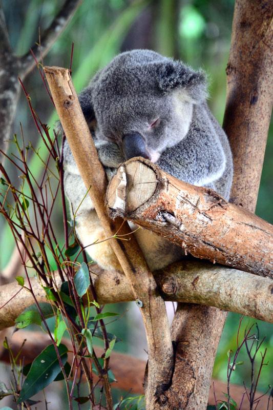 Koala im Australia Zoo bei Brisbane