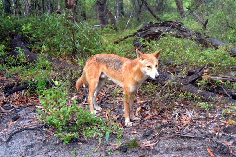 Dingo auf Fraser Island, Australien