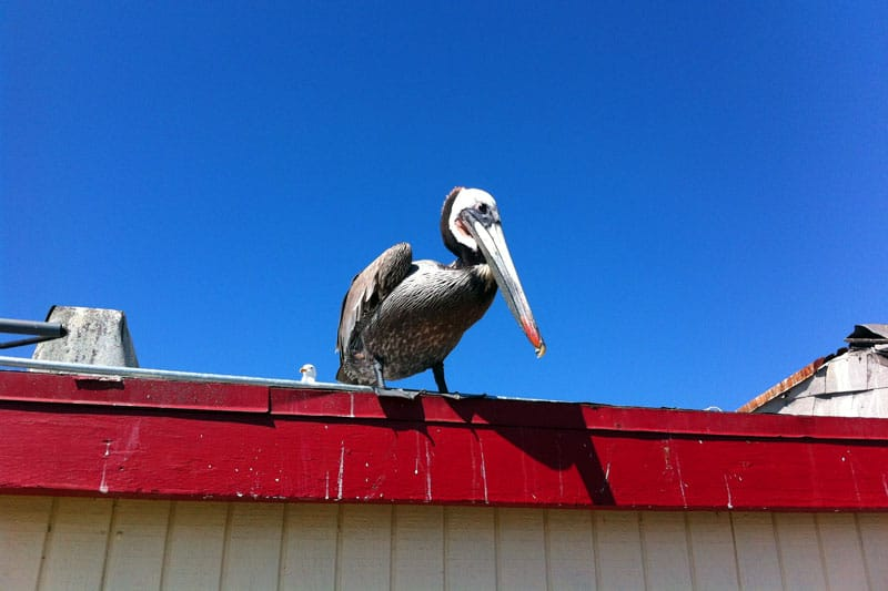 Pelikan am Redondo Beach, Los Angeles, Kalifornien