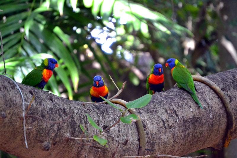 Papageien im botanischen Garten in Rockhampton, Australien