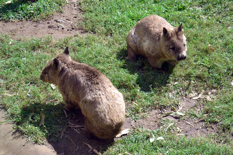 Wombats im Rockhampton Zoo in Australien