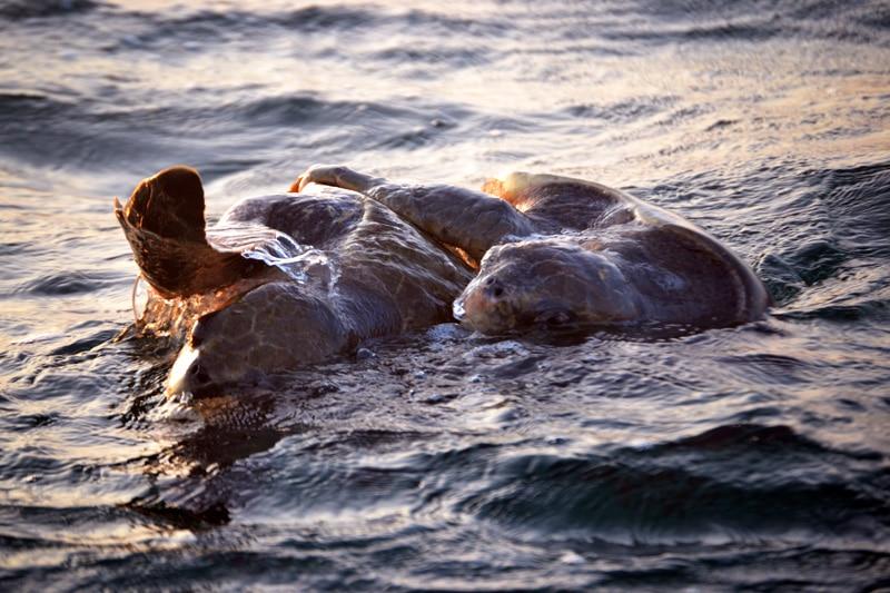 Bootsausflug Abenteuer: Schildkröten in Puerto Escondido