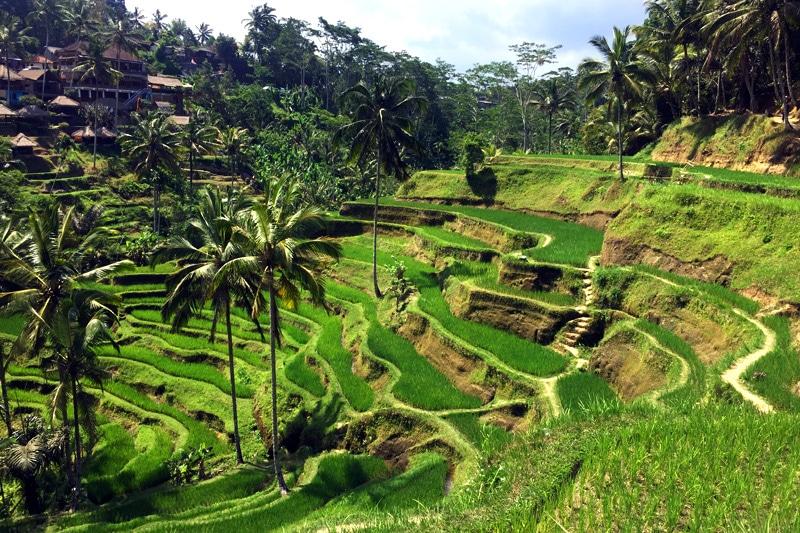 Bali Reisfelder: Reisterrassen von Ubud