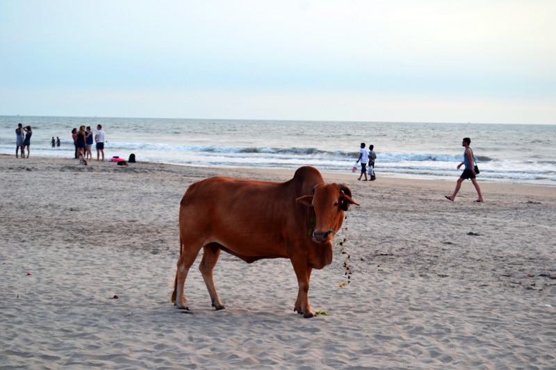 Kuh am Strand von Goa, Indien