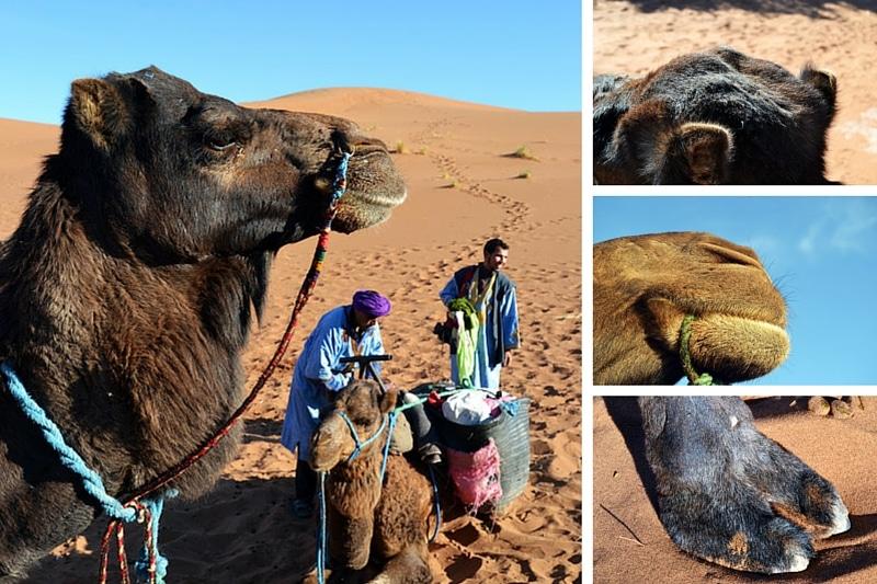 Dromedar in Marokko: Nahaufnahme Kopf, Fuß, Maul