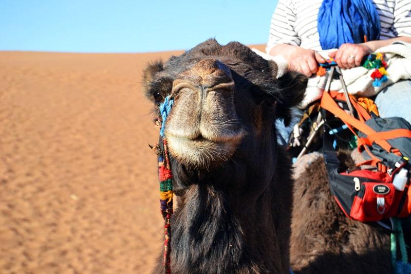 Dromedar reiten in der marokkanischen Wüste