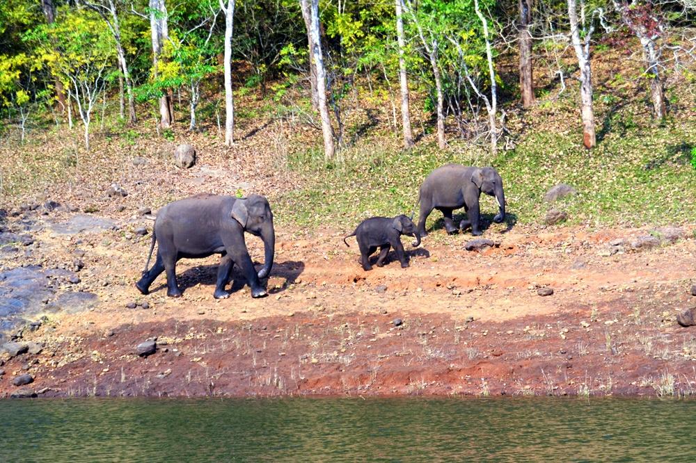 Elefant in freier Wildbahn in Kerala, Indien