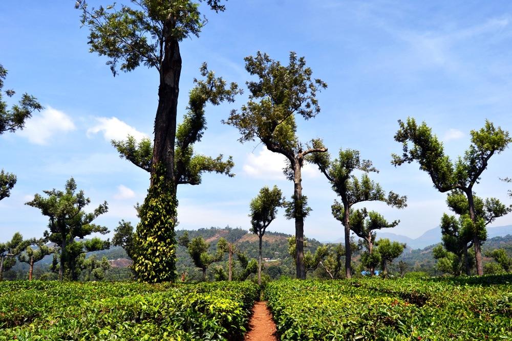 Tee Plantage Munnar Hill Station, Kerala - Kerala Blog Express 3
