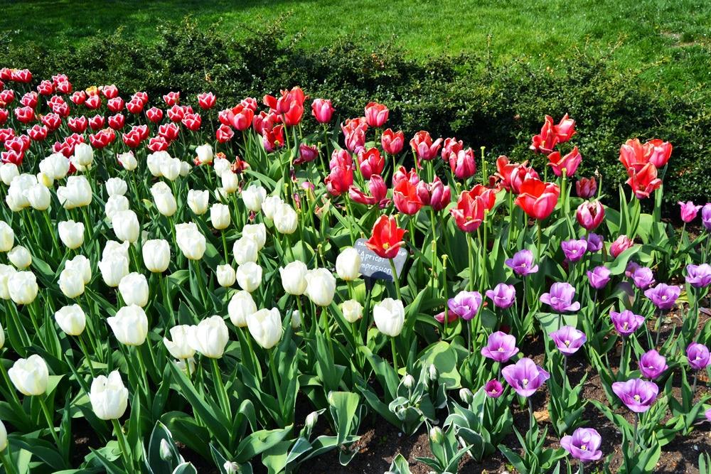 Brooklyn Botanic Garden Tulpen