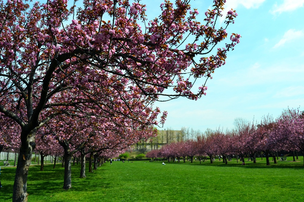 New York zur Kirschblüte im Brooklyn Botanic Garde