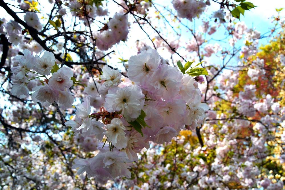 Kirschblüte New York - im Brooklyn Botanic Garden blühen die Kirschen