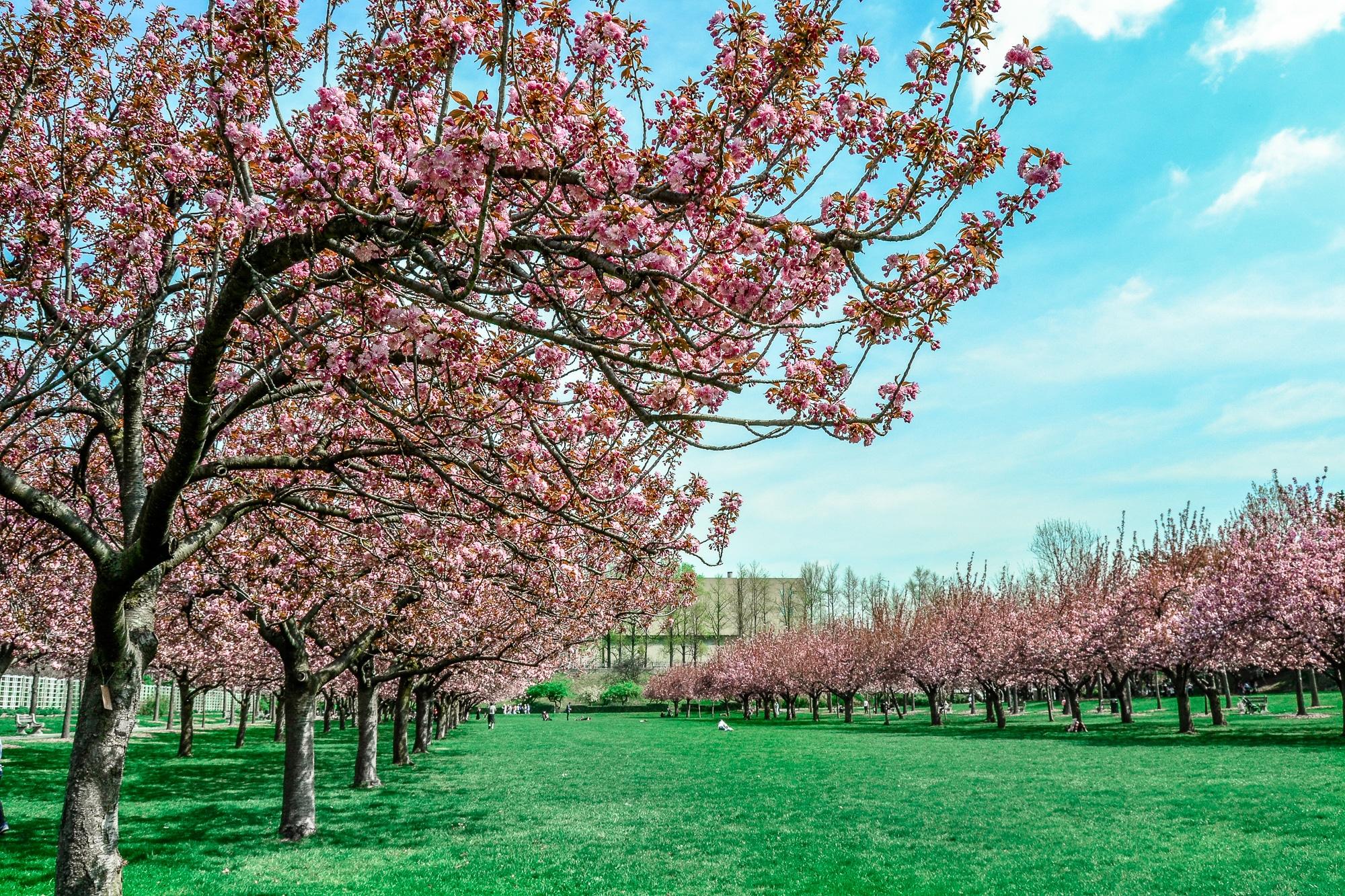 New York zur Kirschblüte im Brooklyn Botanic Garden