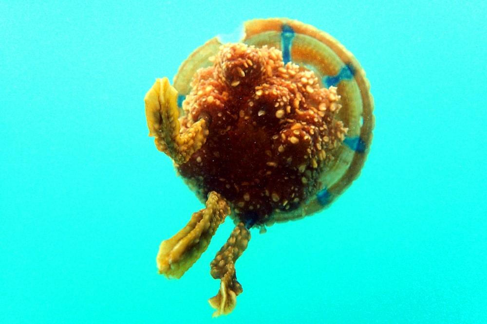 Siargao Bucas Grande Jellyfish Lagoon Schnorcheln mit Quallen - Philippinen