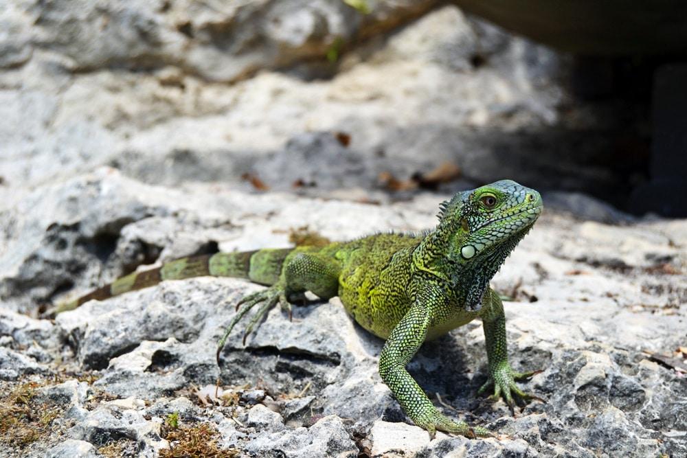 iguana-curacao