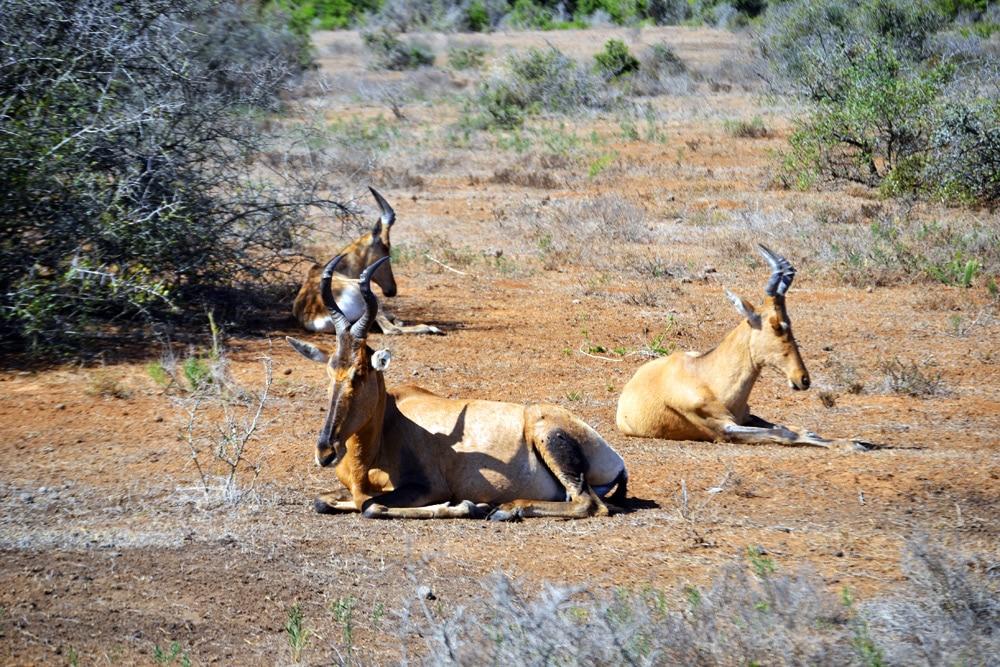 Addo-Elefanten-Nationalpark Südafrika: Gazellen