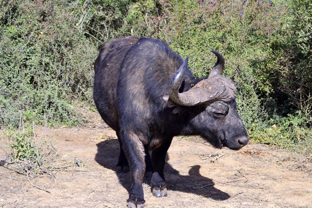 Addo-Elefanten-Nationalpark Südafrika: Büffel