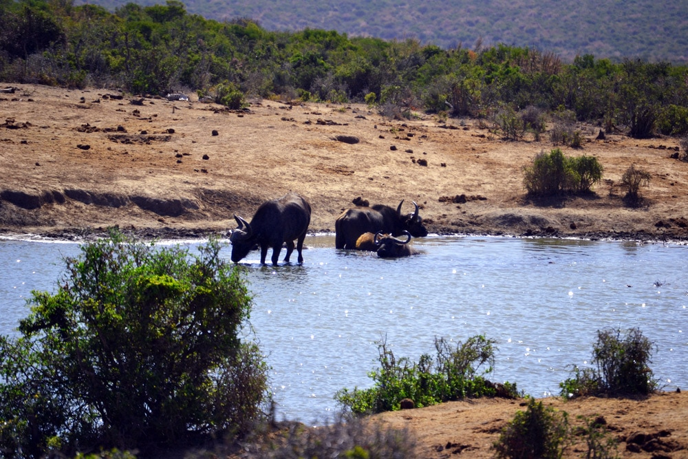Addo-Elefanten-Nationalpark Südafrika: Büffel in einer Büffelherde