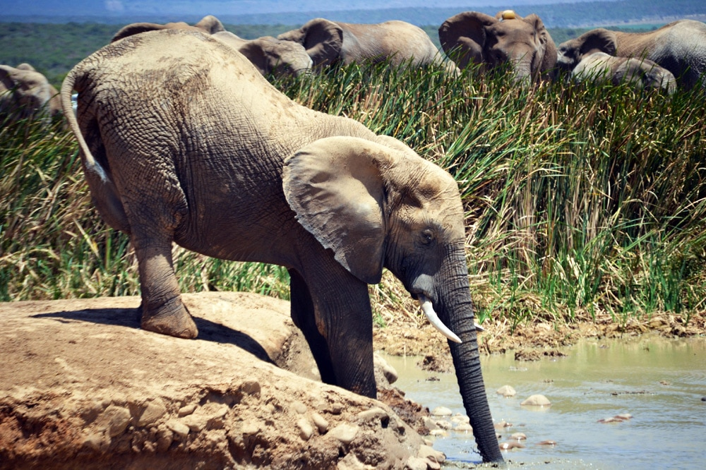 Addo-Elefanten-Nationalpark Südafrika: Elefantenherde