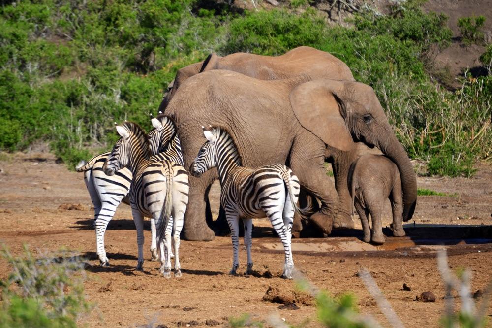 Addo-Elefanten-Nationalpark Südafrika: Elefantenherde und Zebras