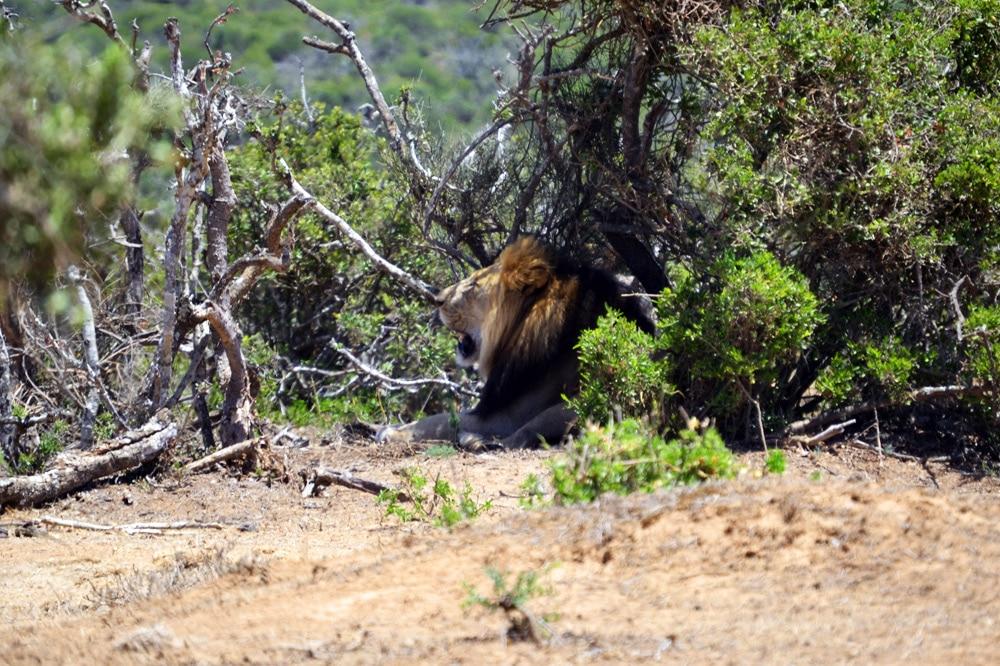 Addo-Elefanten-Nationalpark Südafrika: Löwe