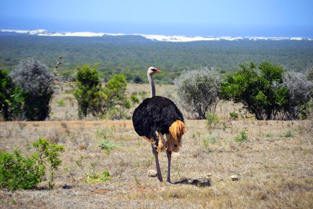 Addo-Elefanten-Nationalpark Südafrika: Strauß in einer Straußenherde