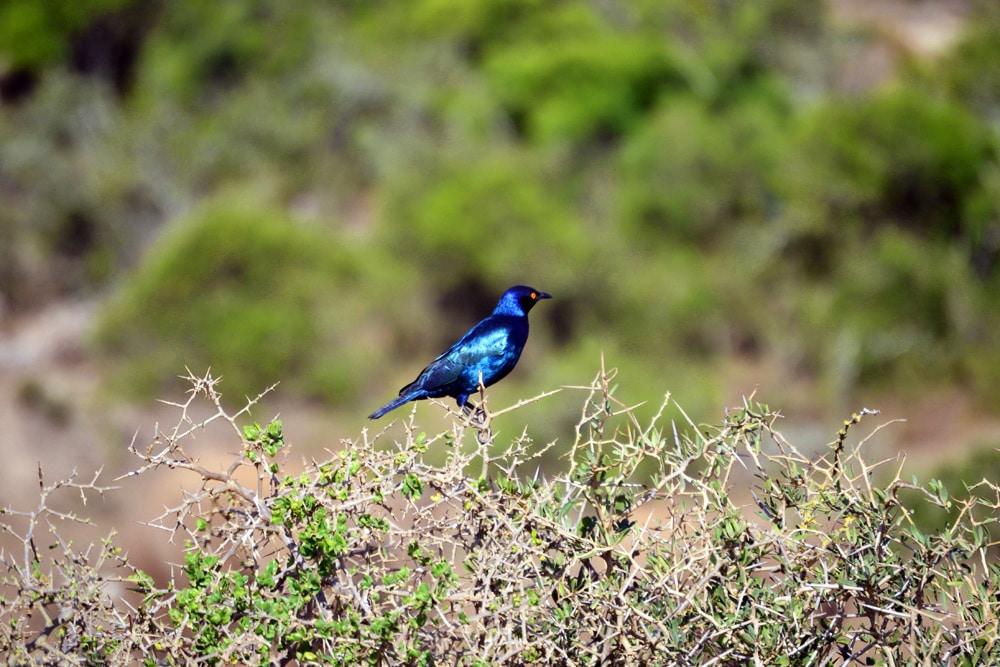Addo-Elefanten-Nationalpark Südafrika: Blauer Vogel