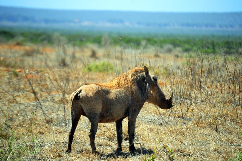 Addo-Elefanten-Nationalpark Südafrika: Warzenschwein