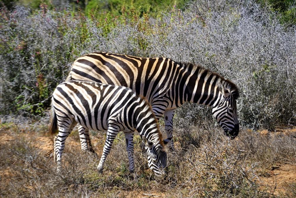 Addo-Elefanten-Nationalpark Südafrika: Zebras in einer Zebraherde