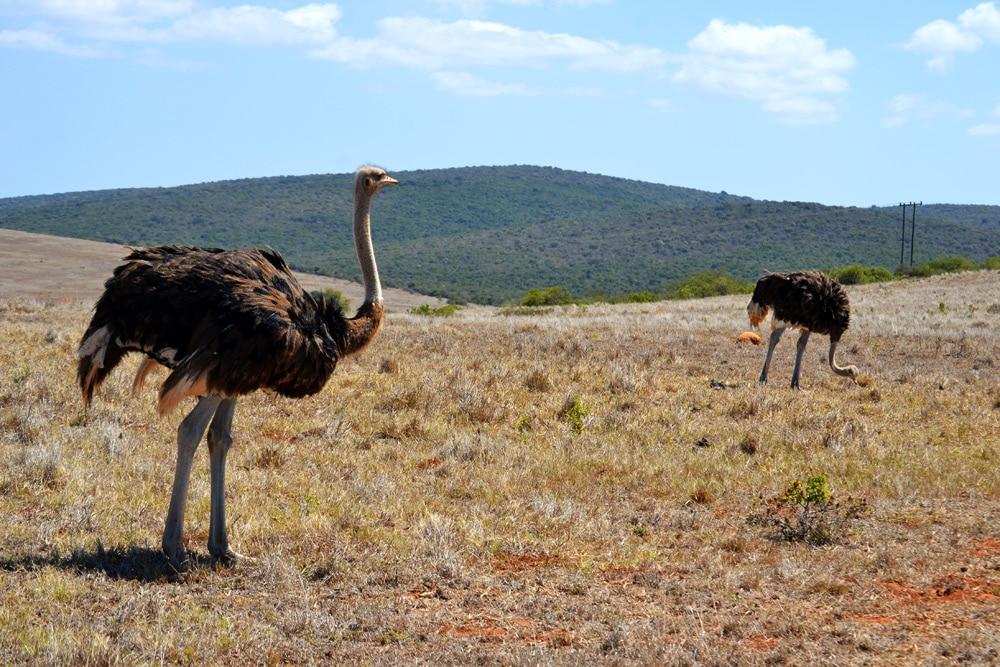 Strauß auf einer Straußenfarm in Südafrika - Garden Route Highlights