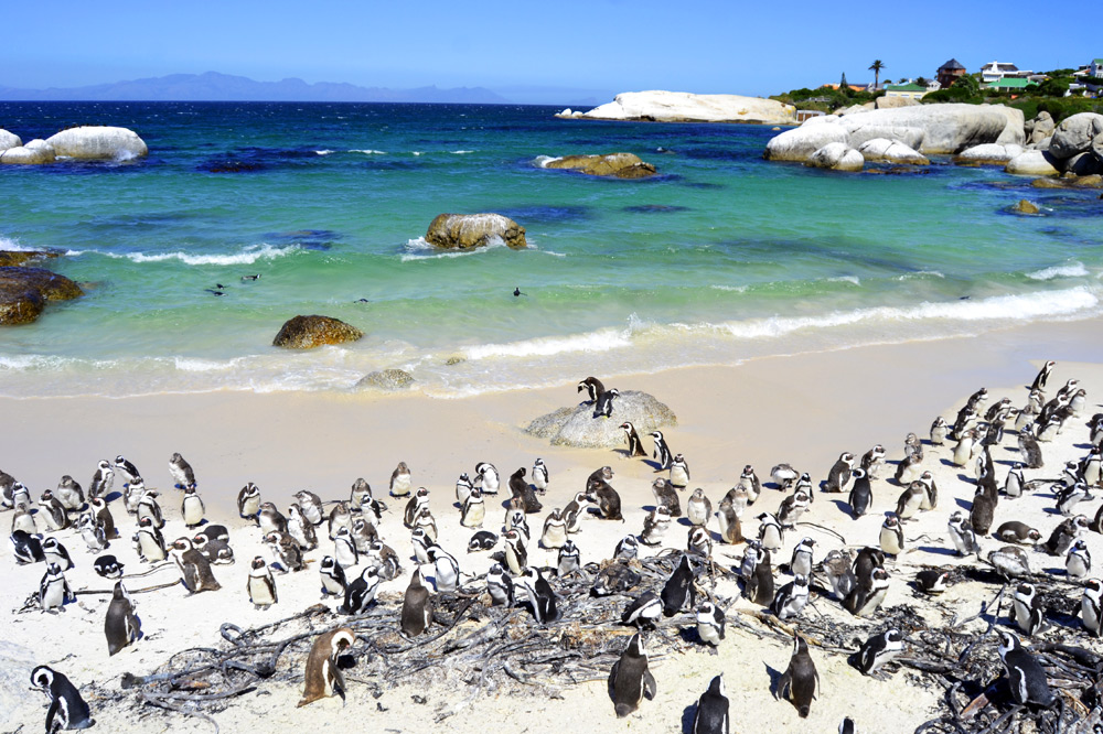 Simon`s Town Boulders Beach Kapstadt