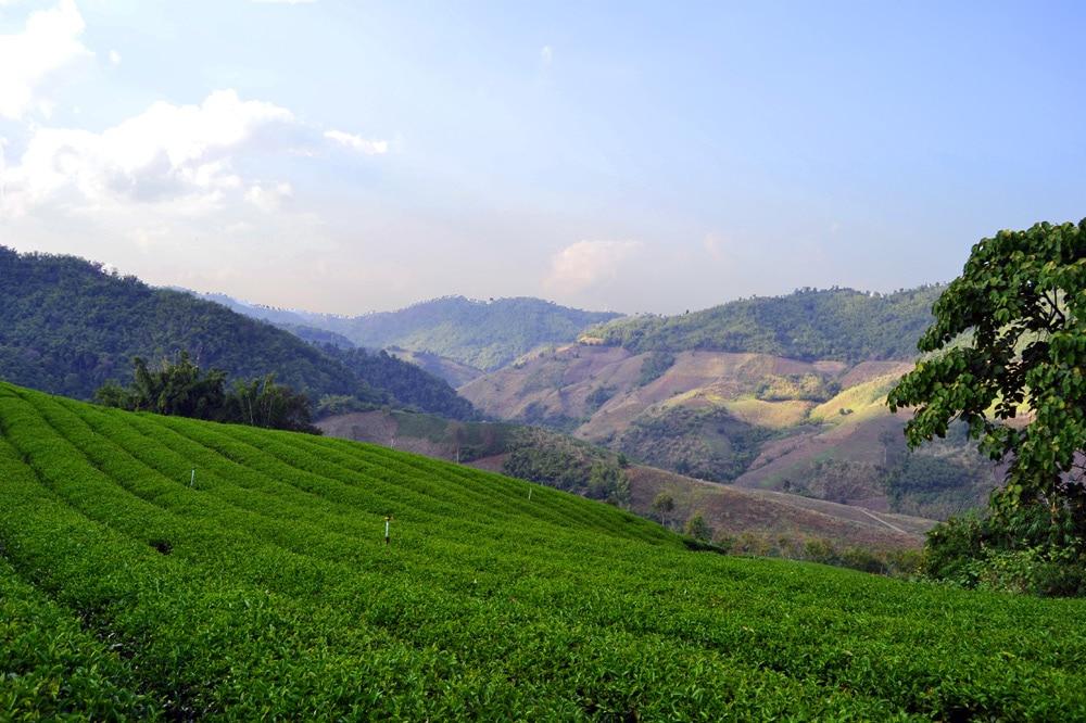 Tea 101 Company Tee Plantagen Chiang Rai, Thailand