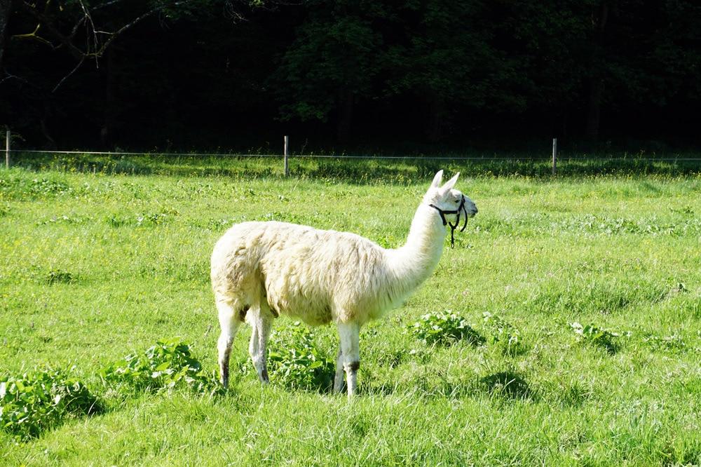 Frankreich Roadtrip: Kotas Esprit Nordique Holzhäuser in den Ardennen - Streichelzoo mit Eseln und Lama