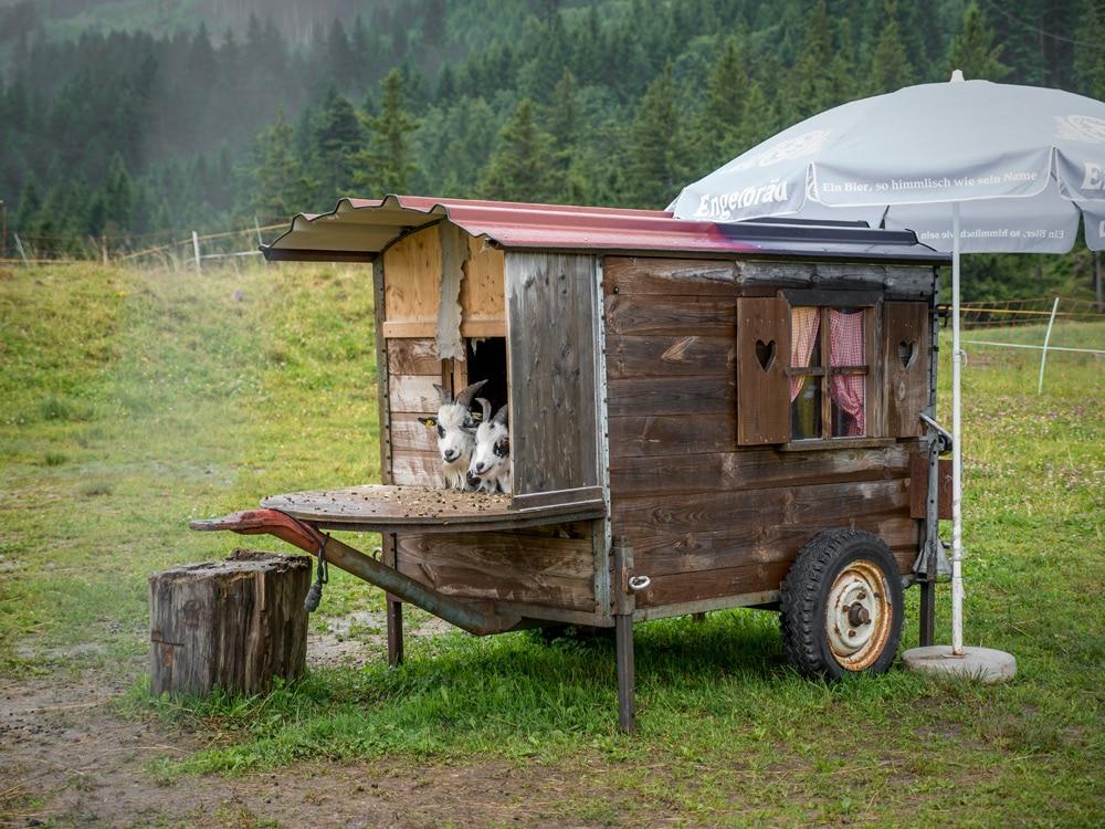Ziegen in Füssen