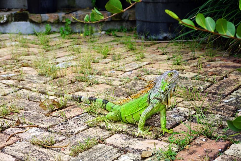Iguana Key West - Florida Keys Reisetipps