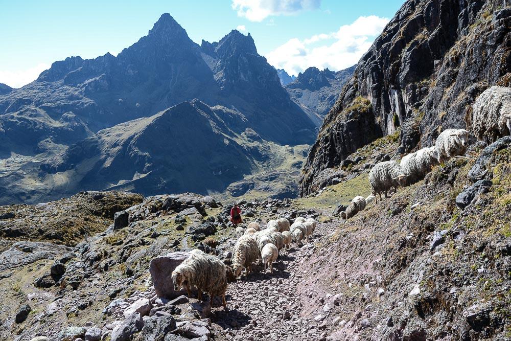 Lares Trek nach Machu Picchu: Tag 3 Trekking - Inkafrau mit Schafen