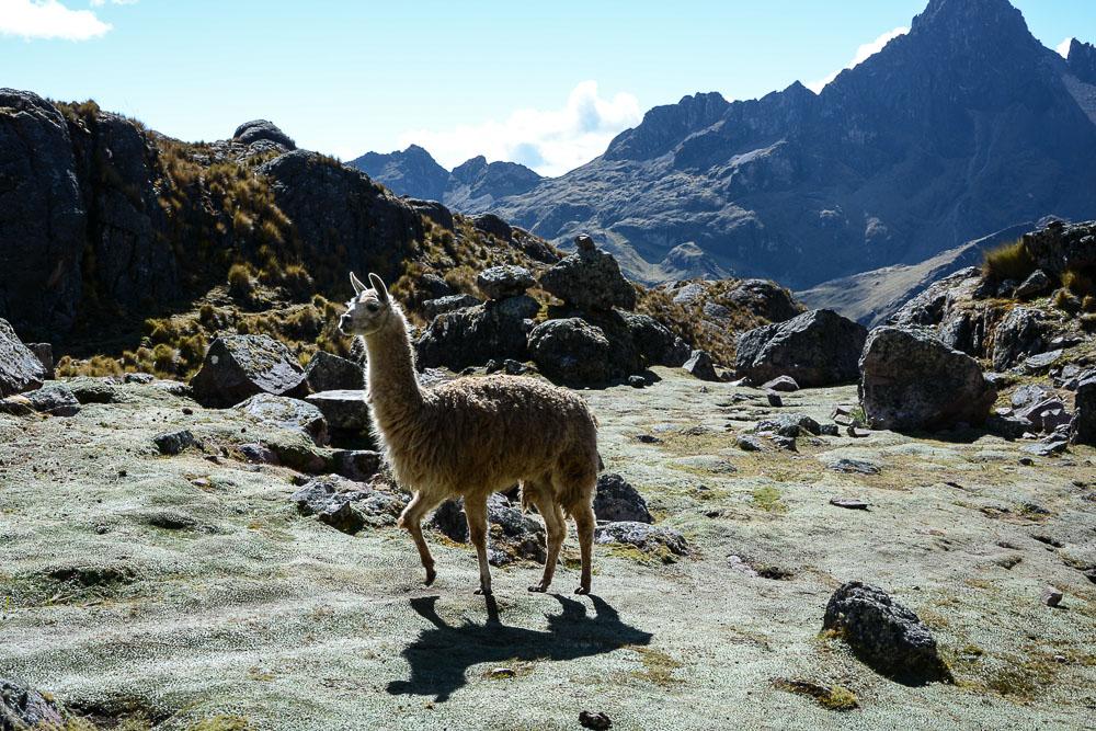 Lares Trek nach Machu Picchu: Tag 2 Trekking in Peru Lama