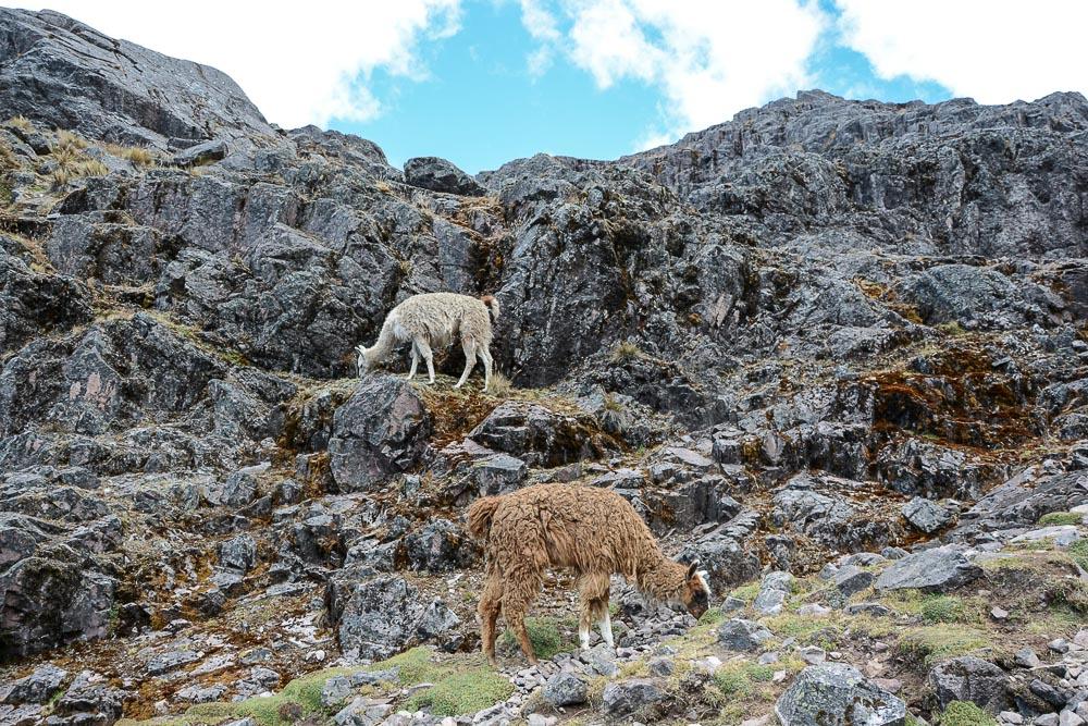 Lares Trek nach Machu Picchu: Tag 3 Trekking - Schafe