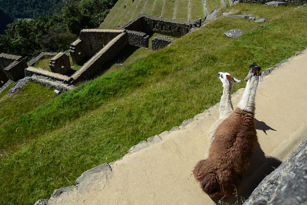 Peru: Machu Picchu Ruinen - Lamas