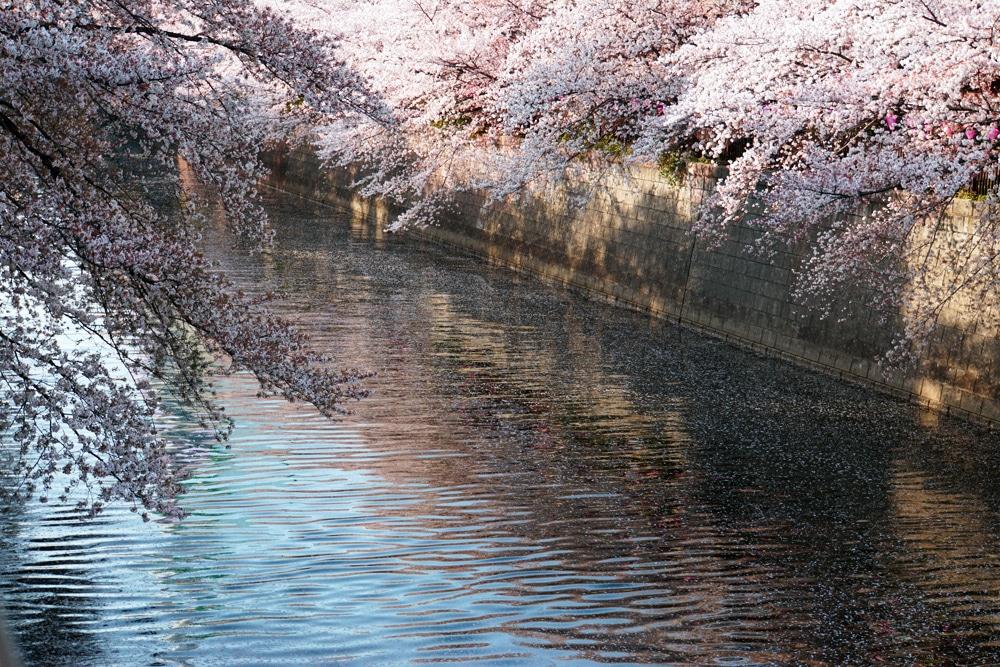 Kirschblüte in Tokio: Das Nakameguro Sakura Festival am Meguro River