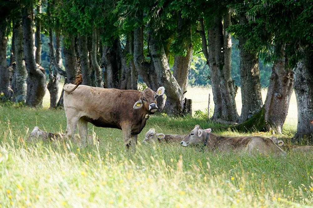 Haubers Naturresort: Meine Erfahrungen im Wellnesshotel im Allgäu - Kühe auf der Weide