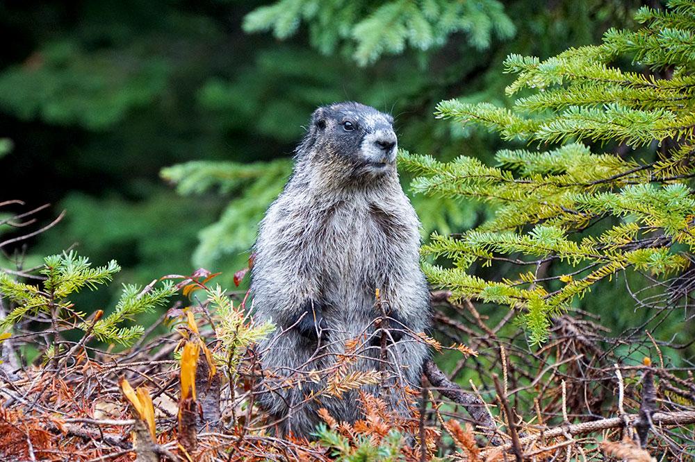 Kanada Rundreise: Highlights auf der Nationalparkroute von Vancouver nach Banff - Mount Revelstoke Nationalpark Murmeltier