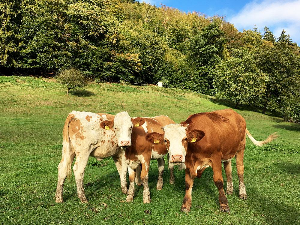 Donauradweg: Oberösterreich mit dem Fahrrad entlang der Donau entdecken - Kühe