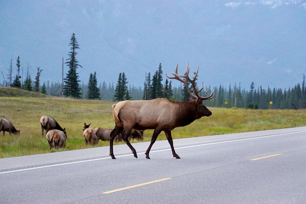 Jasper Nationalpark Top 10 Sehenswürdigkeiten: Das sind die Highlights im Park - Caribou Hirsche auf der Straße
