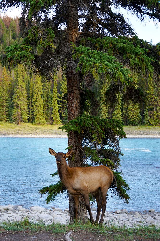 Jasper Nationalpark Top 10 Sehenswürdigkeiten: Das sind die Highlights im Park - Rehe