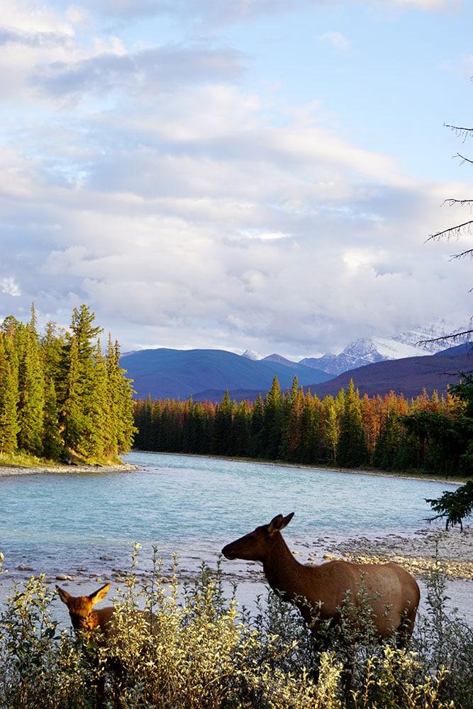 Kanada Rundreise: Highlights auf der Nationalparkroute von Vancouver nach Banff - Jasper Nationalpark, Caribou Wapiti